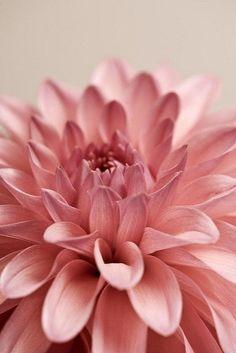 """Preciosa foto de una """"Pink Dahlia""""... la podríamos usar para tantas sesiones de fotos... <3 !"""