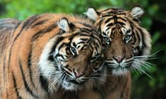 sumatraanse tijger Burgerszoo IMG_0935 | by j.a.kok