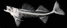 fish bones - Yahoo Image Search Results