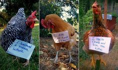 Chicken owners shame their badly behaved birds on Facebook | Daily Mail Online