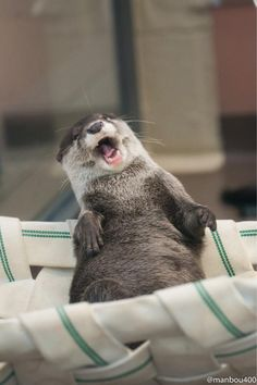 Otter yawns as they relax in a hammock. Looks like they're laughing | Otters