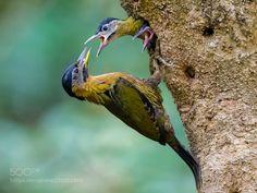 "arieszen: "" Laced woodpecker (Picus vittarus) """