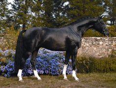 Hanoverian horse  2001, Black - 16.0 hand