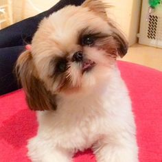 All About Energetic Shih Tzu Puppies Health Shih Tzus, Shih Tzu Hund, Shih Tzu Puppy, Shitzu Puppies, Cute Puppies, Cute Dogs, Dogs And Puppies, Doggies, Lion Dog