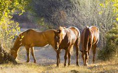 horse image for mac, 592 kB - Liddell Edwards