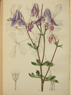 Botanical Print Poster Of Aquilegia Nikolicii
