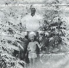 This is an old photograph of a legally grown marijuana crop in rural Crittenden County, Kentucky that was taken in 1942. During World War II, the U.S. Government paid farmers in rural Kentucky to raise marijuana for national defense purposes. The marijuana plants were used to make hemp rope. Legal marijuana growing ended at the end of World War II.