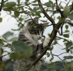 12. Juli 2016 Cats, Animals, Norwegian Forest Cat, Gatos, Animales, Animaux, Animal, Cat, Animais