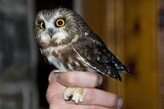 Saw-Whet Owl: so small, so cute!