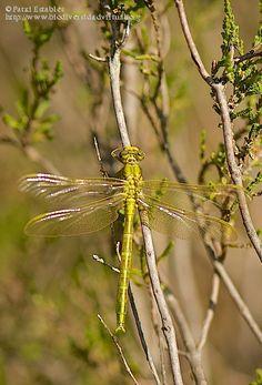 Nombre científico: Gomphus pulchellus, Provincia/Distrito: Zaragoza, País: España, Fecha: 11/06/2016, Autor/a: Patxi Establés, Id: 805402