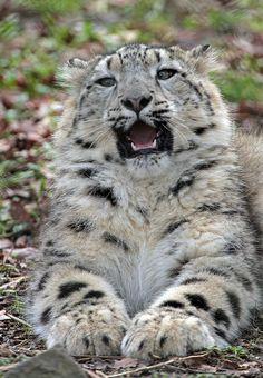 Snow Leopard Cub Photo by j.a.kok on Flickr