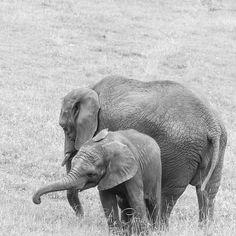 #cantabriainfinita #cantabria #cabarceno #elephant #baby #beautiful #family #feeding #nature #naturephotography #nationalgeographic #bnw #blackandwhite