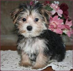 Morkie - a Yorkie-Maltese mix.  Met one of these little guys a month ago and he had to be the cutest dog ever! Maybe we'll get one someday. :) @Christopher Gudvangen