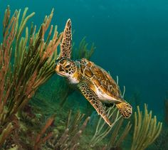 Story and photos from a chance encounter with a Florida Green Sea Turtle near…