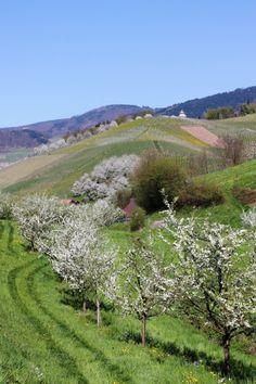 Frühling im Weinparadies - bei Kappelrodeck-Waldulm