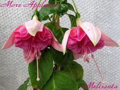 Райские птички в моем саду - Все о комнатных растениях на flowersweb.info