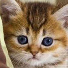 kitten pillow