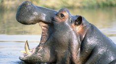 Wallpaper hippopotamus, water, swim, grin, cry