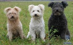 Pumi dog breed photos