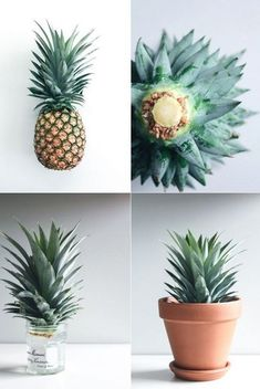How to grow your own pineapple plant from home with the scraps of your pineapple and a simple and easy virgin Pina Colada recipe served in a pineapple. #Howtogrowvegetablesinyourowngarden