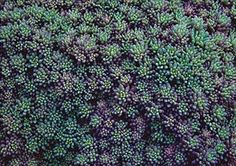 Sedum hispanicum minus Purple Form 'Blue Carpet'