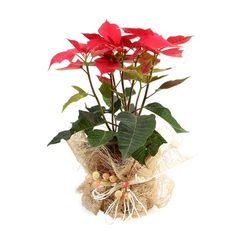 Buy online #Flowering #Plant to make life colorful. http://bit.ly/1ruJa89