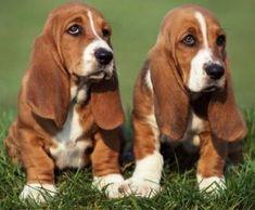 Basset Hound o Hush Puppies, raza de perro                                                                                                                                                                                 Más