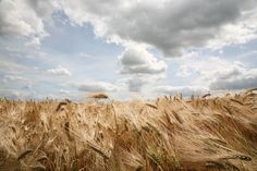 Wheat fields in Poland