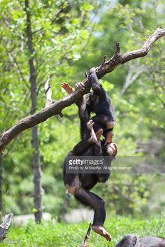 Chimp play : Stock Photo