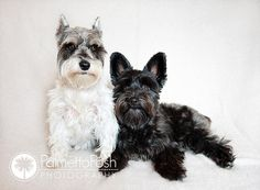pet photography- schnauzer and schnoodle