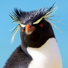 Western Rockhopper Penguin - photo by David Shackelford