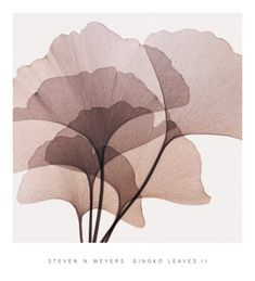 Gingko Leaves II by Steven N. Meyers