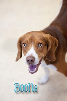 BEING PTS TOMORROW!! Boone with this precious smile he doesn't even realize that he is facing death tomorrow.   PETFINDER LINK- http://www.petfinder.com/petdetail/24085658  City: Bowling Green, OH/Wood County Dog Shelter  PHONE NUMBER: 419-354-9242.    or email us at wcdogshelter@co.wood.oh.us.    Helpful Links:  I WANT TO ADOPT THIS DOG! (START HERE)  http://www.facebook.com/notes/urgent-ohio-dogs/adoption-help-i-want-this-dog/495645040450627