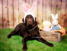 ©www.dageauxsphotography.com / Easter Fudge Chocolate Lab