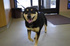 Meet Sydney, a Petfinder adoptable Shepherd Dog | Bucyrus, OH | Sydney is a 3 year old, female, Shepherd mix.Sydney does not respond to us making sounds, her ears...