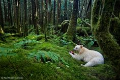 Spirit of the forest - Paul Nicklen - Wildlife Photographer of the Year 2012 : Animals in their Environment - Specially Commended