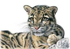 clouded leopard - Bing images
