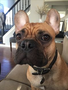 Nacho, French Bulldog,  2 years old
