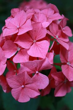 pink hydrangea | Flickr - Photo Sharing!