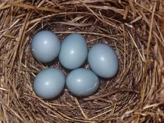 Eastern Bluebird Nest with Five Blue Eggs, Sialia Sialis, Eastern North America Photographic Print by Charles Melton at Art.com