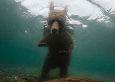 A brown bear hunts for Pacific salmon in Russia's remote Kamchatka Peninsula. Photo by Randy Olson.
