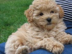 goldendoodle...named ginny:) yes i will name all my pups after Harry Potter characters<3