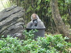 Animal Kingdom: Gorillas