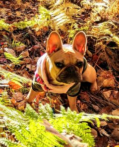 Puppy Sitting, French Bulldog, Puppies, Dogs, Animals, Cubs, Animales, Animaux, French Bulldog Shedding