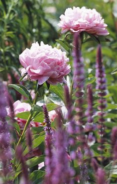 Peonies are some of the most beautiful plants you can grow, with their sumptuous, velvety blooms that are breathtaking in the garden or in bouquets. Find out how to grow them here: http://www.gardenersworld.com/how-to/projects/video-projects/how-to-grow-peonies/235.html