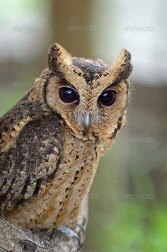 Realistic Graphic DOWNLOAD (.ai, .psd) :: http://jquery-css.de/pinterest-itmid-1007051599i.html ... Oriental Scops Owl ...  alert, animal, asia, avian, bird, eyes, nature, oriental, otus, owl, scops, sunia, thailand, wild, wildlife  ... Realistic Photo Graphic Print Obejct Business Web Elements Illustration Design Templates ... DOWNLOAD :: http://jquery-css.de/pinterest-itmid-1007051599i.html