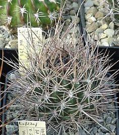 Piltz Kakteen kakteen piltz seeds of cubiformis ca mm wide this