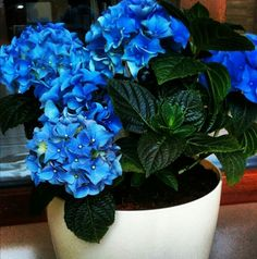 Ortanca  Çiçek  Mavi