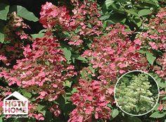 HGTV HOME Plants - White Embers™