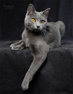 magnifique chat chartreux yeux jaunes                                                                                                                                                      Plus